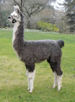 Gray and white llama
