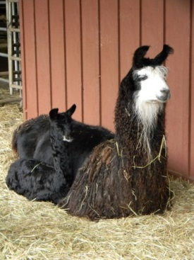 Mom and baby llama